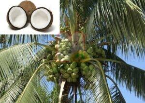 אגוזי קוקוס בקליפתם בעודם על העץ. למעלה מימין אגוז ללא קליפה ואגוז חצוי.