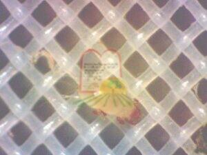 אקרית שקופה, על רשת סינון, לאחר סינון תות