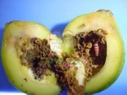 הזחלים חודרים עד הזרע (גרעין) וניזונים מהשכבה העוטפת את הגרעין