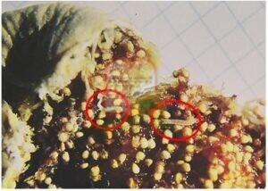 זחלים בתוך תאנה מיובשת