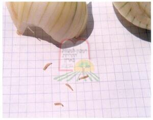 זחלים של מזיקי מחסן בבצל מאוחסן בתנאי לחות.