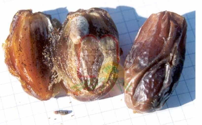זחל שהוצא מתמר לאחר חצייתו לשניים. ניתן להבחין בצבע הזחל שהשתנה לחום כצבע התמר המיובש. כמו כן ניתן להבחין בשאריות וגללים שנותרו בתוך התמר החצוי