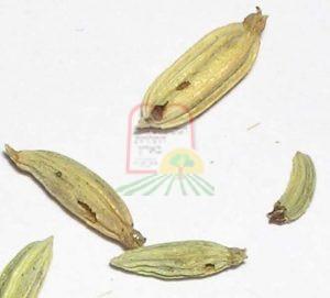 זרעים מנוקבים ע'י חרקים בהגדלה