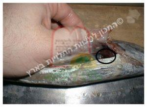 טפיל בדג טונה מזן 'סקיפ ג'ק' - לפני בישול