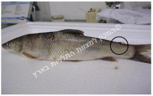 טפיל לרניאה בזנב דג אמור נחלים