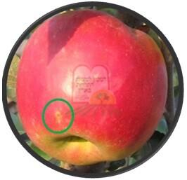 כנימת מגן על קליפת התפוח