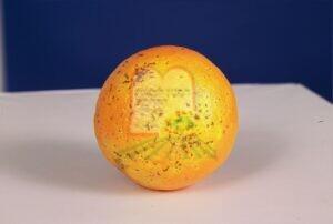 כנימת פסיק ההדרים על גבי תפוז