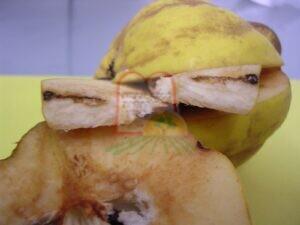 מחילות בתוך הפרי שנוצרו על ידי הזחל