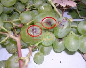 סימני חדירה על הענבים