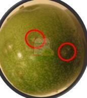 סימני עקיצה של זבוב הפירות