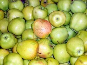 פגעים טבעיים על תפוח שאינם סימן לנגיעות מחרקים