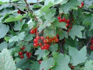 פירות הדומדמניות בעודם מחוברים
