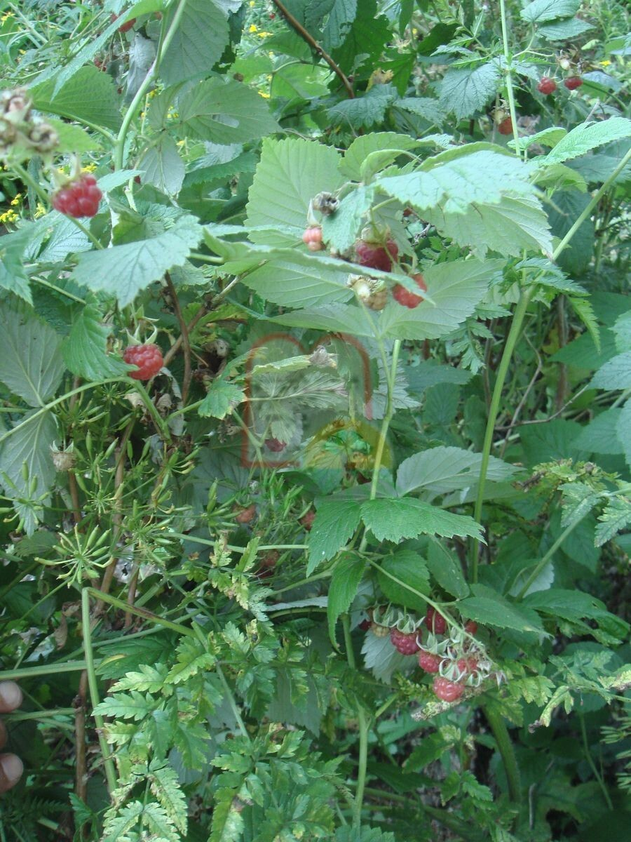 פירות הפטל האדום בעודו מחובר