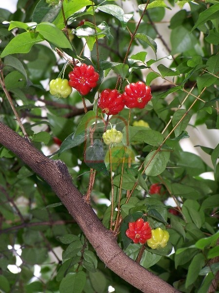 פירות פיטנגו בעודם מחוברים לעץ