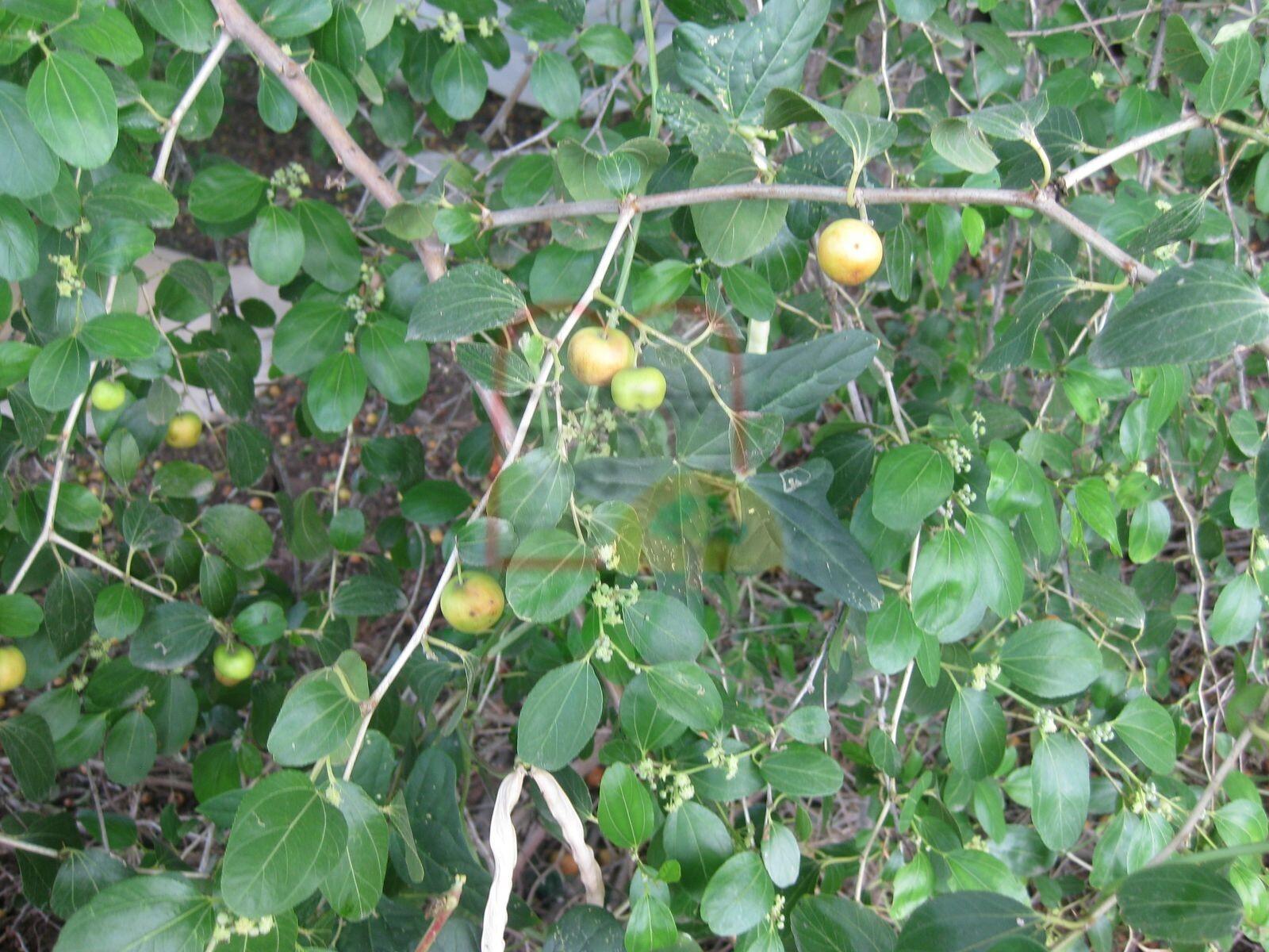 פירות שיזף מצוי על העץ
