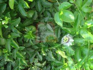 פסיפלורה בעודה מחוברת לשיח. ניתן להבחין גם בפרח שפורח כשעון (ומכאן שמו שעונית)