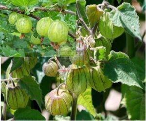 פרי החזרזר (עכובית) בעודו על העץ עם כיסוי הפלומה. למעלה מימין הפרי ללא הכיסוי