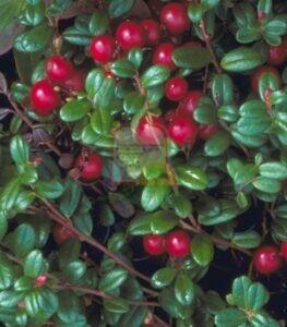 פרי החמוציות בעודו מחובר לעץ.