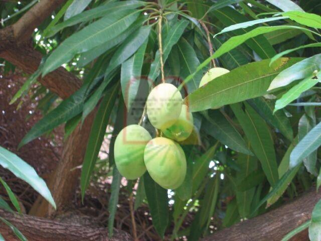 פרי המנגו בעודו מחובר לעץ