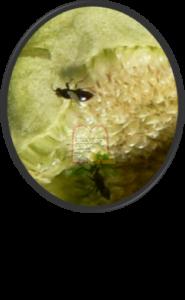 צרעות (נקבות) בתוך התאנה