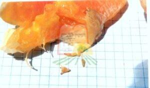 רימות של זבוב הפירות שהוצאו מפלח תפוז (ניתן להבחין בקצה בראש השחור של הרימה)