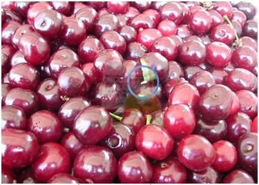 רימת זבוב הפירות בינות לדובדבנים המיועדים לתעשייה