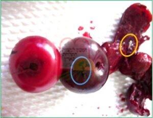 רימת זבוב הפירות בתוך פרי הדובדבן [בעיגול הכתום]. סימון מקום החדירה מבחוץ [בעיגול הכחול]