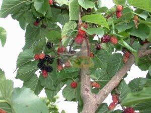 תות עץ מחובר לעץ התות שעליו משמשים את טוואי המשי