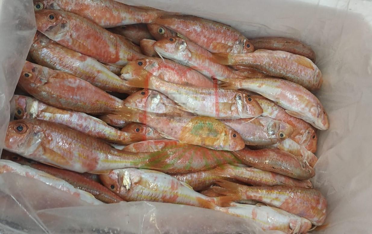 דגי ברבוניה מחופי מצרים