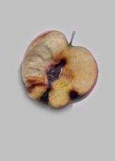 נזק של עש התפוח.