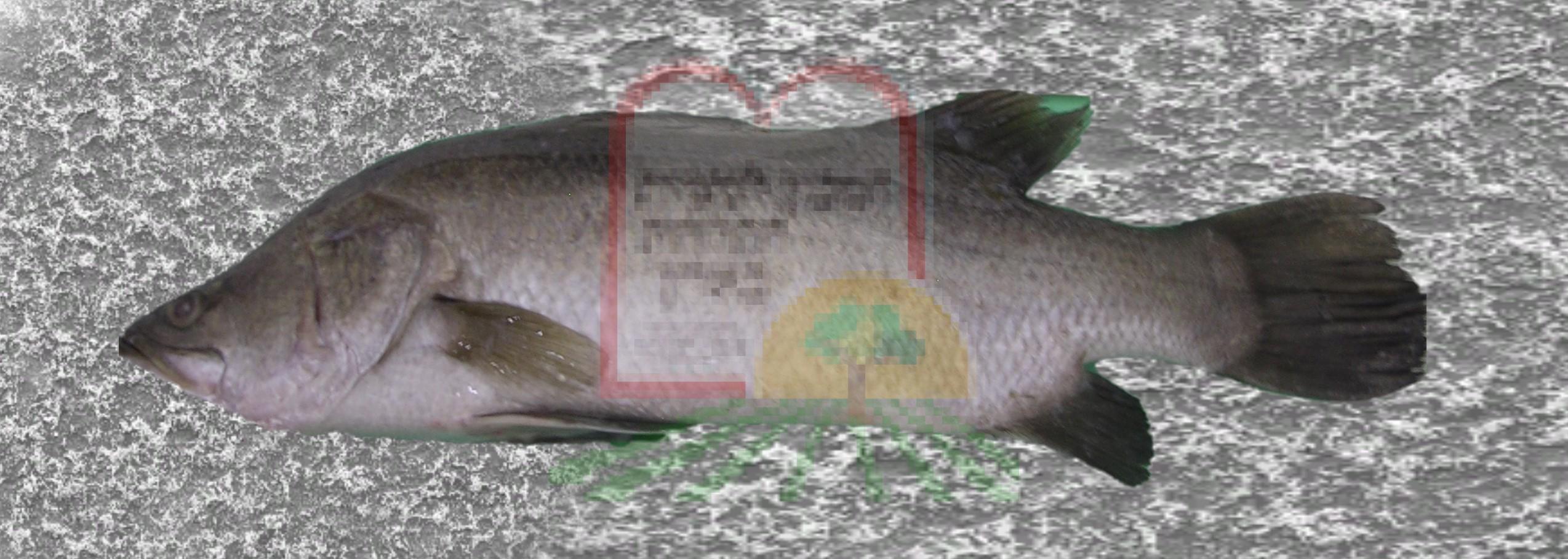 דג ברמונדי מבריכות גידול