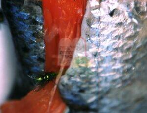 זבוב ירוק על בשר דג סלמון