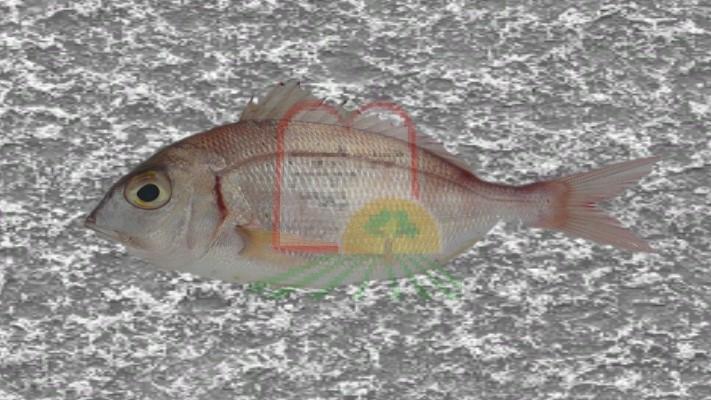דג ג'רבידה