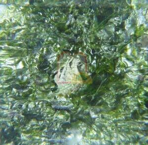 סרטנים החיים בין אצות הים