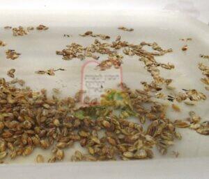 גרגירי גריסים נקובים וחרקים בהצפה של מים ומלח