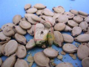 גרעיני אבטיח עם סימני חדירה חיצוניים של חיפושיות מחסן