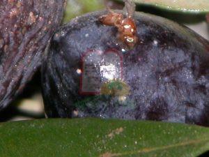1. זבוב הזית בזמן עקיצה