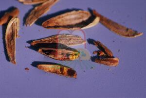 גרעיני חמניה נגועים בקליפתם