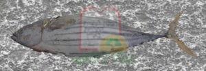 דג אטונס שמשווק קפוא למפעלי שימורים