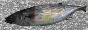 דג בוניטו טרי מהים במרוקו לתעשיית השימורים