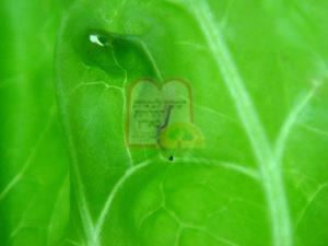 2. זחל זבוב הכבול על חסה