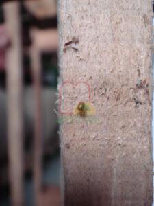 חיפושית הטבק על עמודים במחסן חומרי גלם
