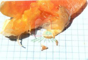נקודת העקיצה בהגדלה של זבב הפירות בתפוז