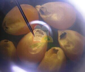נגיעות פנימית בגרגירי תירס בהגדלה תחת מיקרוסקופ