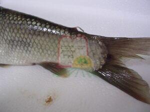הטפיל בזנב הדג