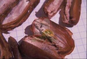 חרקי מחסן בוגרים ופסולת מרובה בתוך תמר מיובש