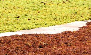 צימוקים - ענבים מוכנים לייבוש בשמש