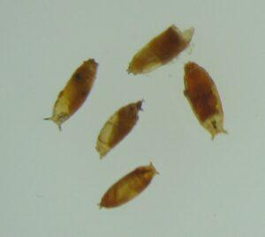גלמים של זבובי התסיסה