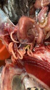 נמטודה בדגי בריכה שמקורה מעוף השקנאי