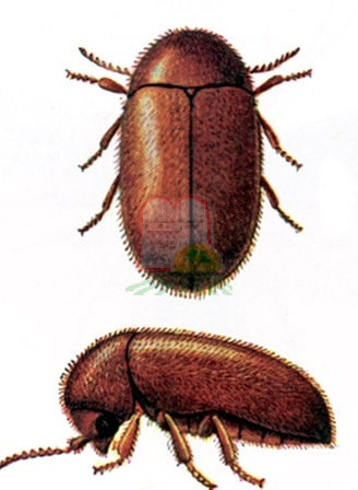 חיפושית [אנובית] הטבק
